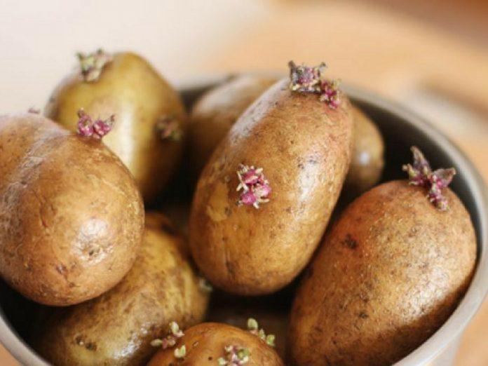 bahaya makan kentang yang dah tumbuh tunas