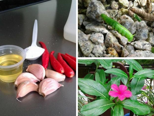Campuran Bawang Putih, Cili Padi, Minyak Masak & Sabun Mampu Jadi Racun Berguna