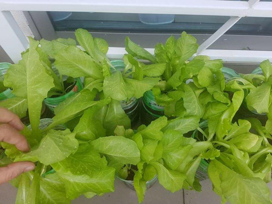 7 Langkah Tanam Salad Dalam Botol Mineral,