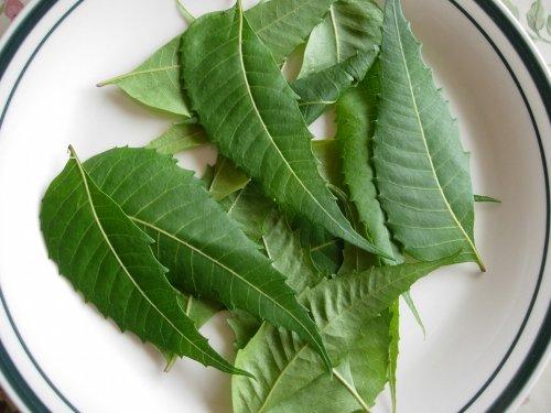 daun sebambu