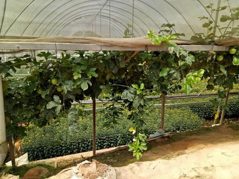 Datang Sini Kalau Nak Petik Anggur Manis, Ladang Tersembunyi Di Cameron Highlands