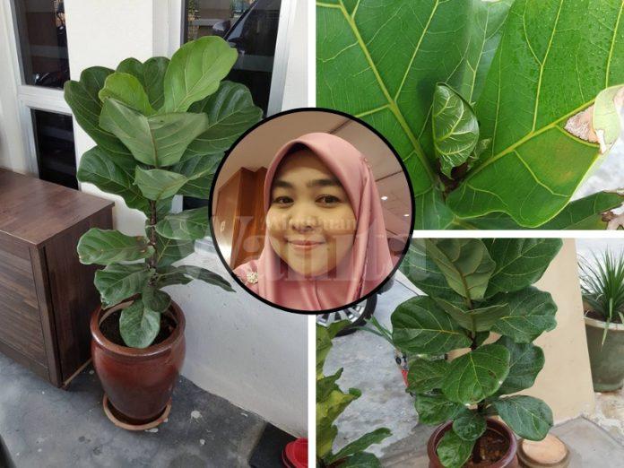 pokok fiddle fig leaves