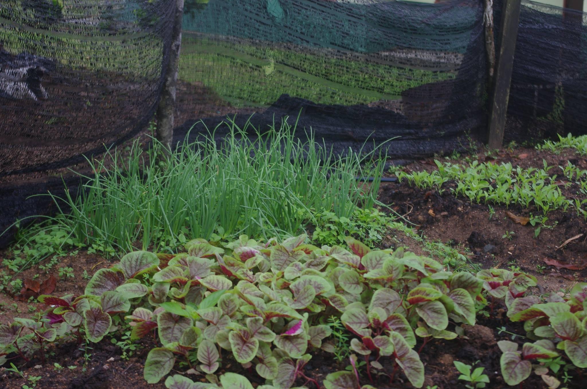 Tanam Bawang Merah Rose, Campuran Pasir Kena Ada Elak Benih Membusuk