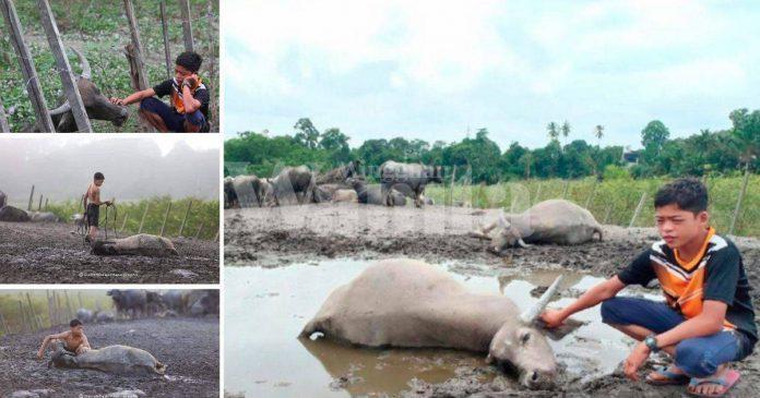 'Waktu Menyusukan, Ibu Kerbau Hilang Nyawa' Satu Persatu Kerbau Syukur Rebah