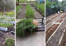 Buat Batas Pokok Kucai, Tanah Berbaja Proses, Lepas 3 Hari Baru Tanam