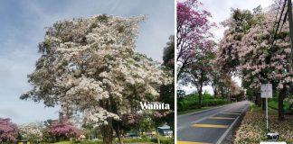 """Tak Payah Pergi Jepun"" Cantiknya, Malaysia Dilanda 'Musim Bunga Sakura'"